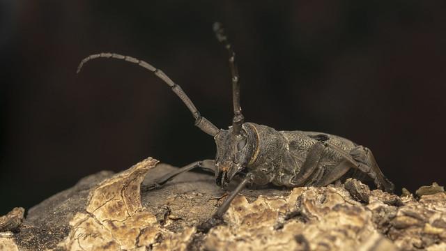 Long-horned beetle (lat. Morimus funereus)