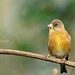 Zvonek čínský (Carduelis sinica)