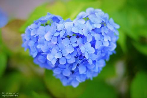 ハートの紫陽花 20160609-DSCF0647 (3)