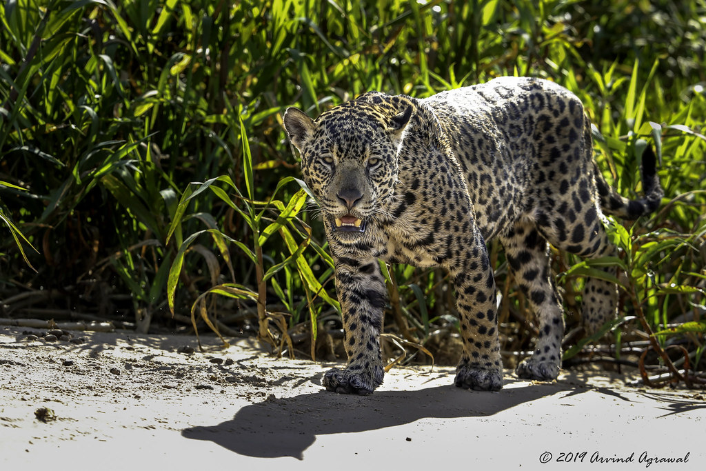 Jaguar at high noon - DI4A3441-1