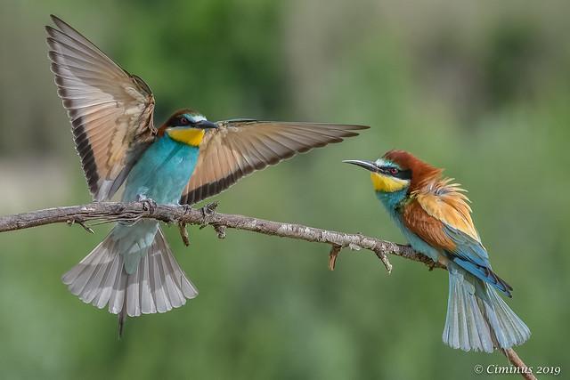 European bee-eaters.