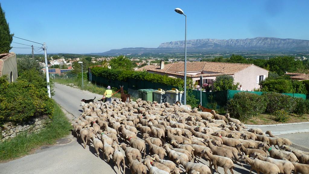 Les moutons dans les quartiers de Trets 4mai 2019