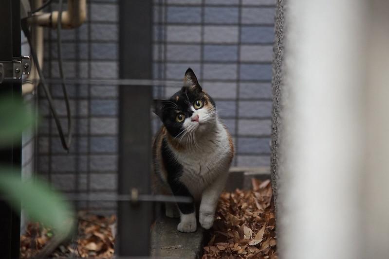 70 雑司ヶ谷路地の傾げるコーナーの猫