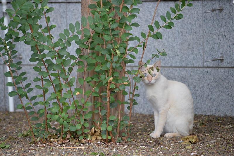 41 雑司ヶ谷大鳥神社の猫