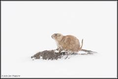 Prairie Dog in Whiteout 3219