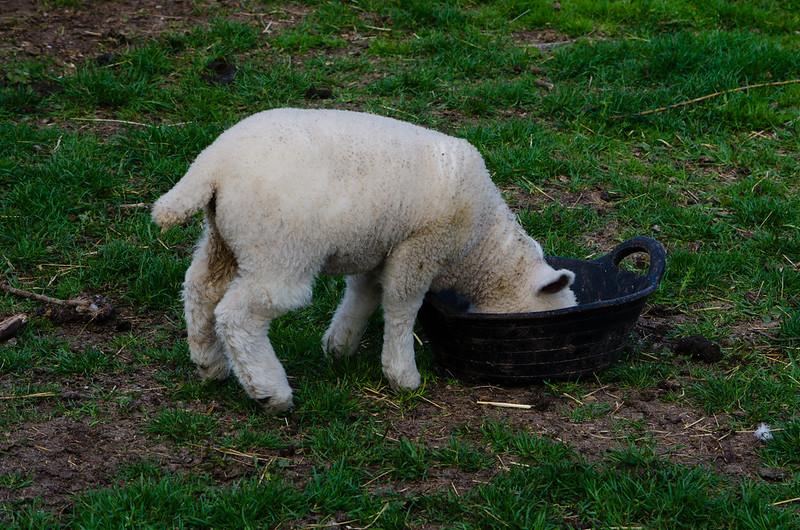 Lambs galore, Mary Arden