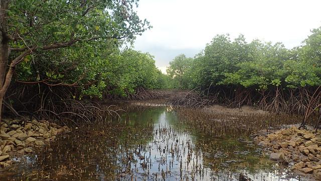 Replanted mangroves at Semakau South, May 2019