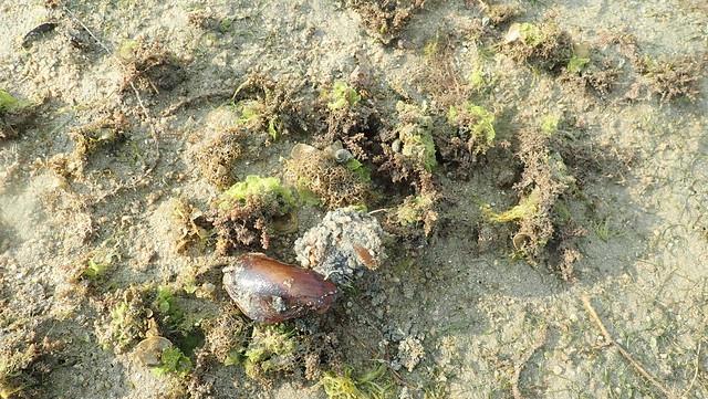 Horse mussel (Modiolus sp.)