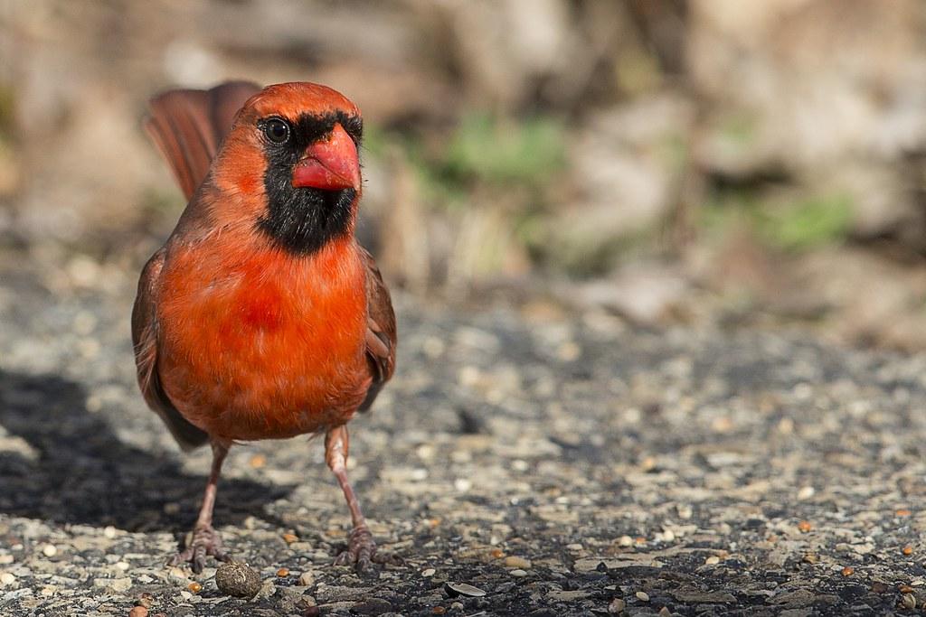 Quelques oiseaux de ma cour hier 47777188141_df1ba66a62_b