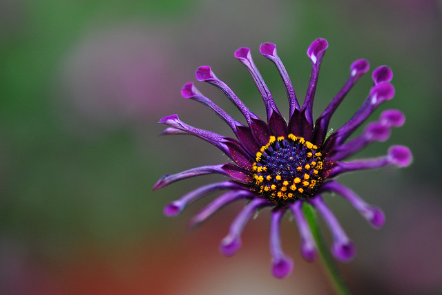 African Daisy (Osteospermum Soprano Lilac Spoon)