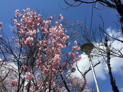 水沢公園 水沢 桜 japan 2019 travel 自助旅行 東北地方 sakura 花見 賞櫻 櫻花 公園 水澤公園 水澤 iphone