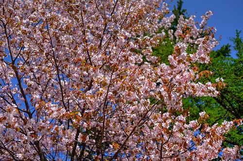 12-05-2019 Sakura (10)