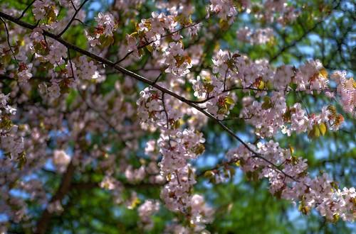 12-05-2019 Sakura (9)