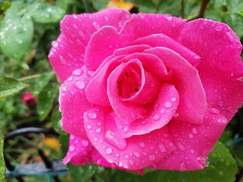 Resplendent Rose