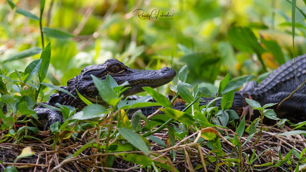 American Alligator - Alligator mississippiensis   2019 - 3