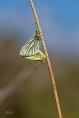 Mating Pair of Green-Veined Whites | Pieris napi