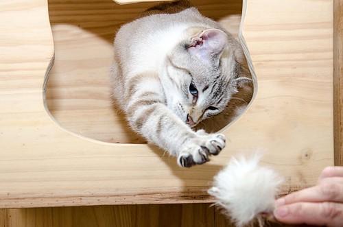 Teryl, preciosa gata siamesa tabby esterilizada nacida en Septiembre´18, en adopción. Valencia. ADOPTADA. 47780852971_87b80da306