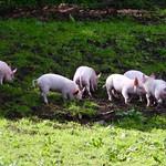 Piglets at Tatton Park