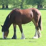 Horse at Tatton Park
