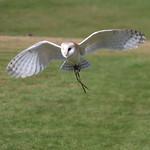 Barn Owl, in flight