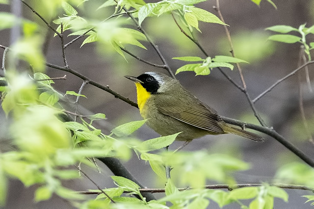 Central Park: Common Yellowthroat