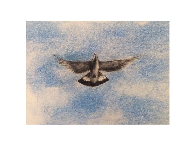 Wood pigeon overhead. Coloured pencil drawing by jmsw on white card.