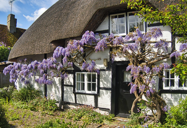 Wisteria, Easton, Hampshire