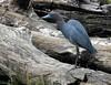 Little Blue Heron_N9636 by Henryr10