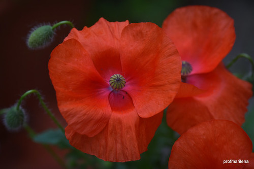 DSC_5896 red poppies in my garden