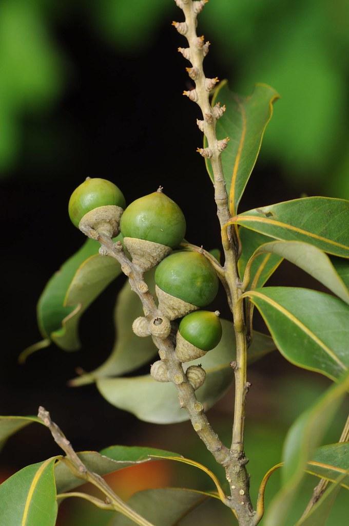 林奐慶在蓮華池工作時,常常與南投石櫟為伴,因此把傳遞南投石櫟的訊息是為使命。 圖為南投石櫟果實。攝影:林奐慶