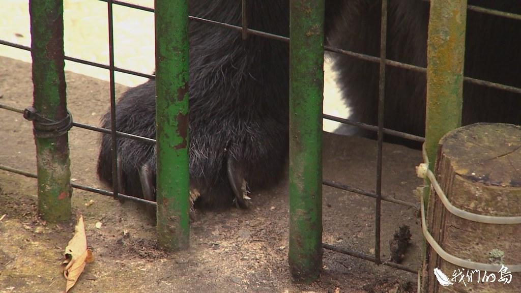 根據黃美秀的調查,野外繫放的台灣黑熊中,高達一半因為誤入陷阱而斷趾斷掌。