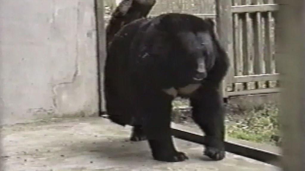 過去二十多年來,有更多的黑熊,因為人類的一己之私,從此遠離自然。