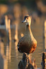 Wandering Whistling Duck by Athena Georgiou