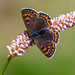 Lycaena helle by Charaxes14