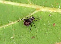 Periphyllus californiensis
