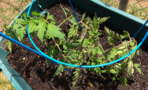 tomato_plant-20190506-100-2