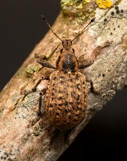 Liophloeus tessulatus_Areley Wood_040519b