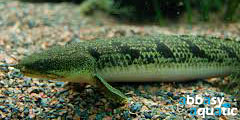 Barred Bichir