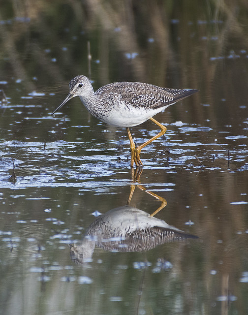 Another lifer - greater yellowlegs