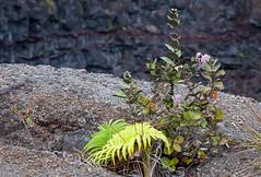 Plant on edge of Devil's Throat