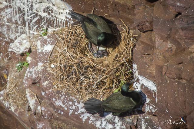 Naissances cormoran Huppé (Phalacrocorax aristotelis)