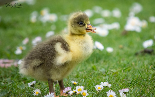 🇬🇧 Cute greylag gosling in the daisies (Explored 08/05/19) #130