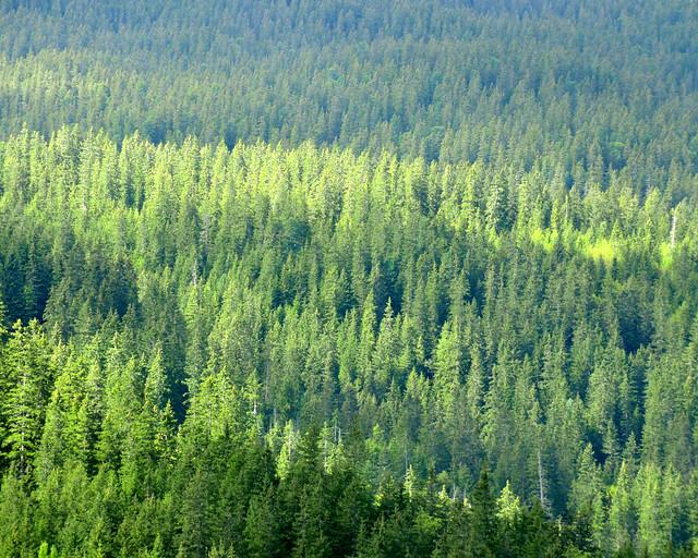 Bosques de abetos en Suiza
