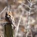 アリスイ(Eurasian wryneck)