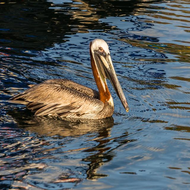 FQ97. Pelican au soleil couchant