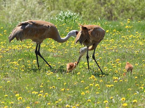 Sandhill Crane feeding colt 06-20190510
