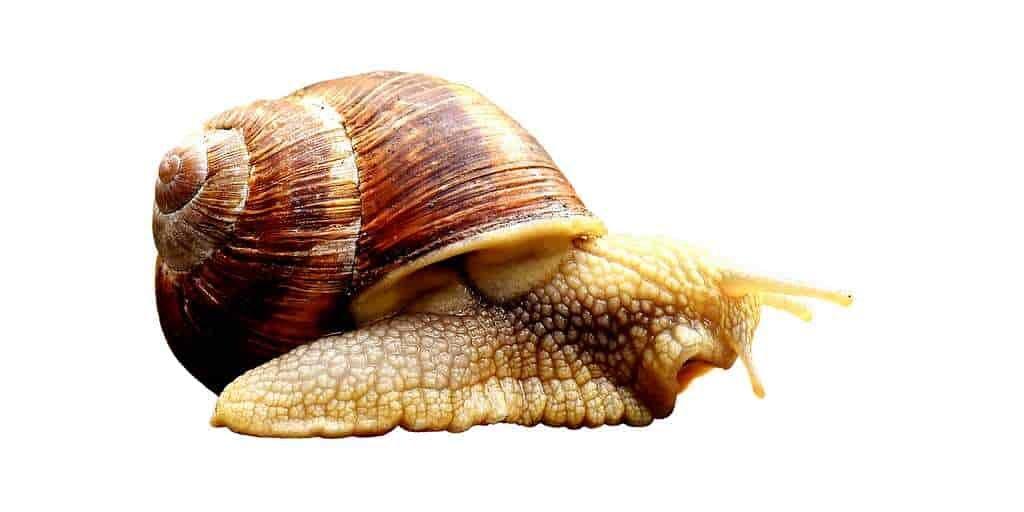 escargot-coquilles-à-droite