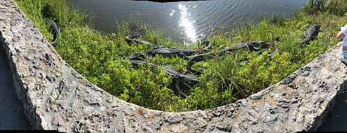 Panorama shot of 7 alligators right next to the Anhinga Trail
