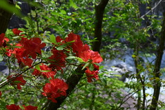 龍王峡で見られるヤシオツツジの花