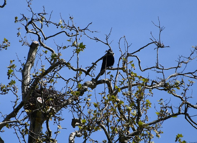 Crow in tree 07.05 (2)